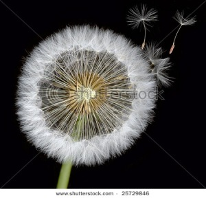 Dandelion seed ball