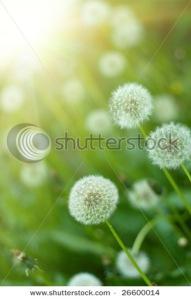 Dandelions under sun rays