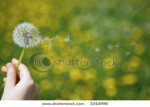 Flying dandelion down