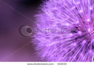 Purple dandelion