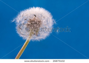 Single white dandelion