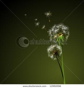 Two dandelions in wind